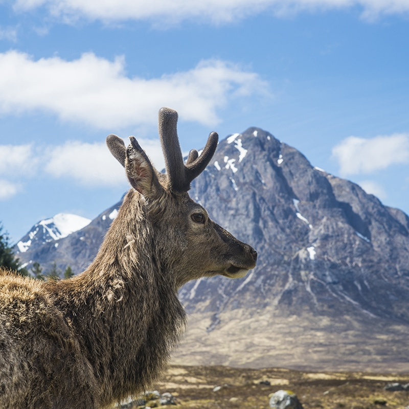 deer at glencoe on tours of scotland