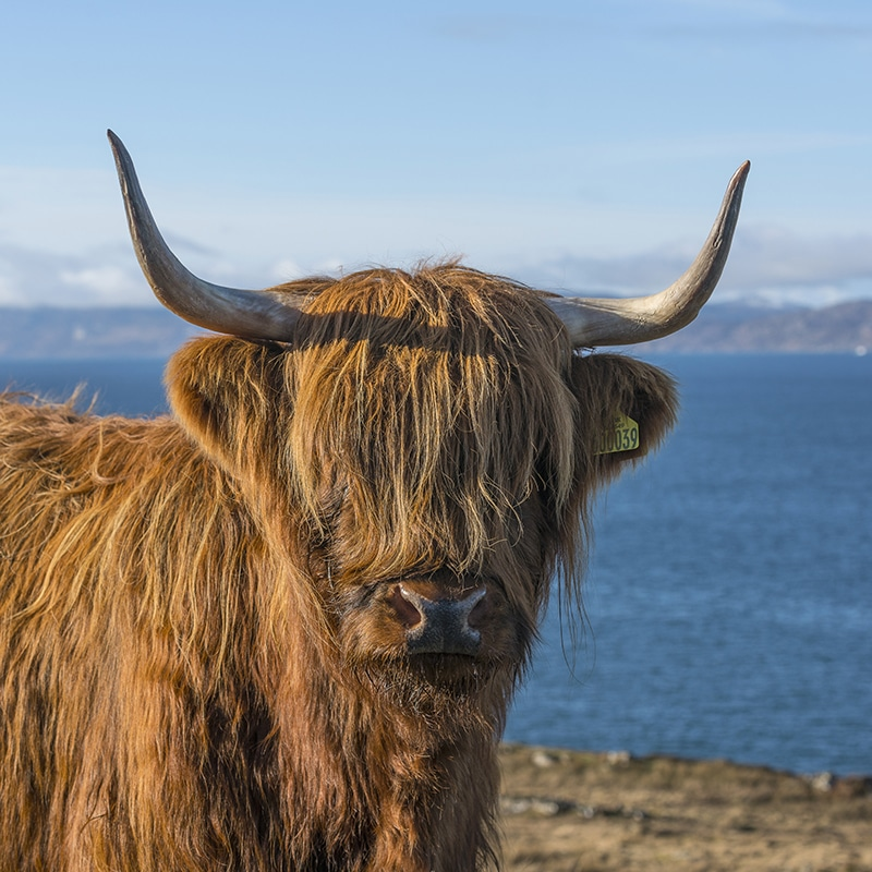 Highland Cow on tours of Scotland